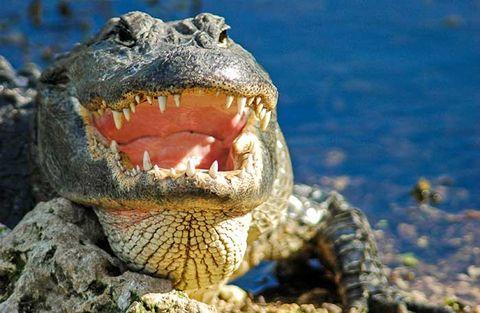 Alligator minskar förlusten