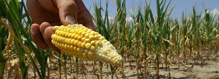 USA-torka ger rekordpriser på majs